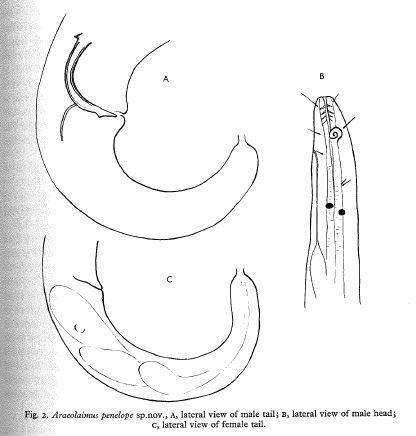 Araeolaimus penelope