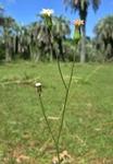 Podocoma hieraciifolia (Poir.) Cass.
