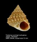 Tectarius cumingii