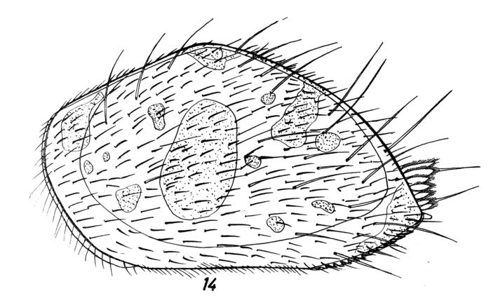 Triebelina schulzi Hartmann, 1964 from the original description, Pl. 4.14