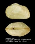 Arcopsis afra