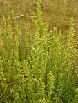 Baccharis coridifolia DC.