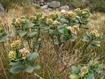 Baccharis macrophylla Dusén