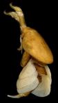 Anthosoma crassum adult female
