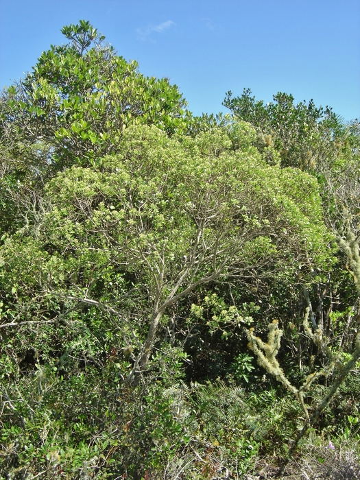Baccharis longiattenuata A.S.Oliveira