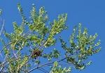 Baccharis dracunculifolia DC.