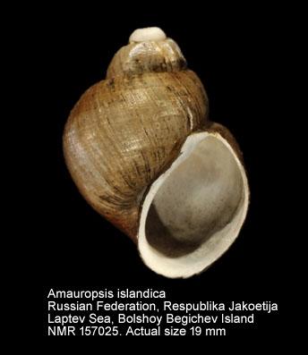 Amauropsis islandica