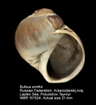 Bulbus smithii