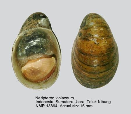 Neripteron violaceum