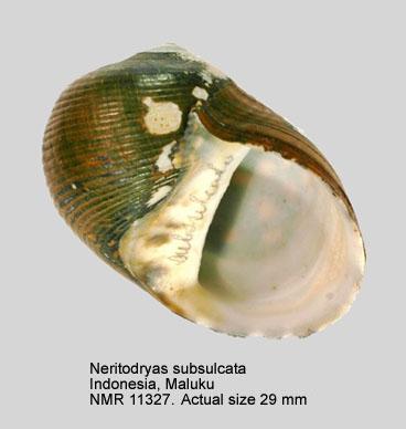 Neritodryas subsulcata