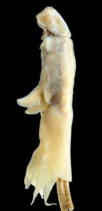 Lernanthropus seriolii female
