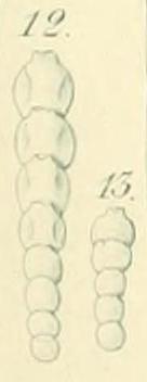 Nodosaria pygmaea Ehrenberg, 1872