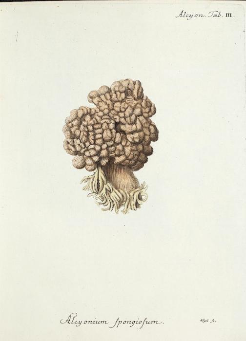 Alcyonium spongiosum Esper, 1829