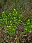 Baccharis sphenophylla Dusén ex Malme
