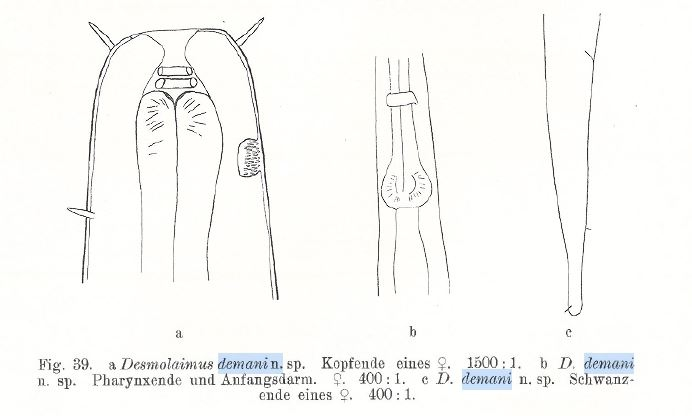 Desmolaimus demani Schulz, 1932