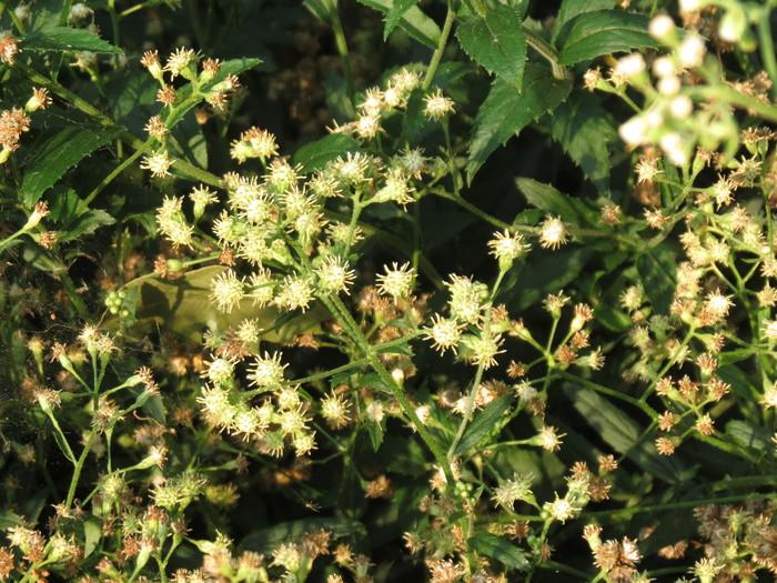 Baccharis racemosa (Ruiz & Pav.) DC.