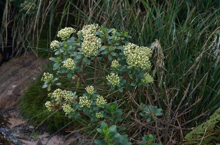 Baccharis vitis-idaea Oliv. ex Thurn
