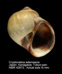 Cryptonatica adamsiana