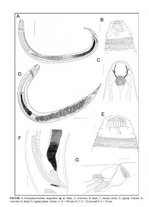 Parasphaerolaimus magdolnae
