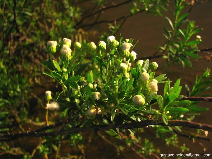 Baccharis arenaria Baker