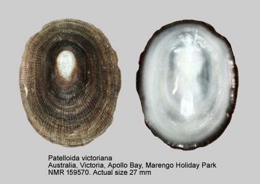Patelloida victoriana