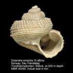 Solariella affinis