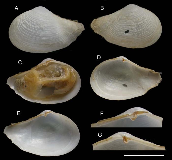 Myonera atlasiana Utrilla, Rueda & Salas, 2020, holotype from Gazul Mud Volcano, Gulf of Cádiz, 390 m (actual size 19 mm)