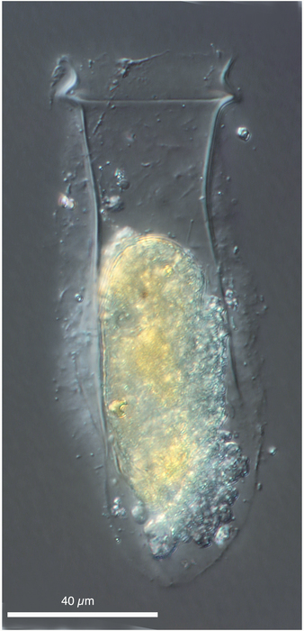 Brandtiella palliata