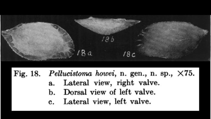 Pellucistoma howei Coryell & Fields, 1937 from original description