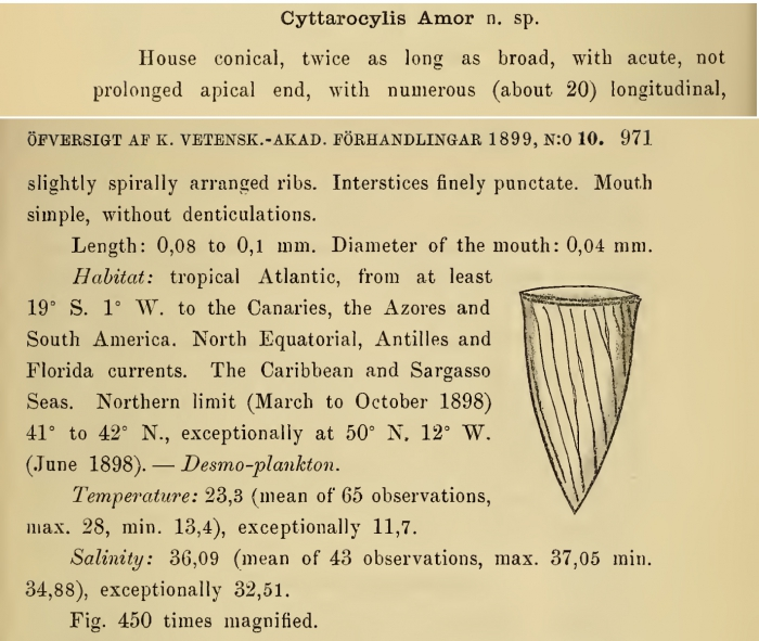 Rhabdonella amor was originally described by Cleve (1899) as Cyttarocylis amor