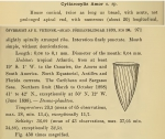 Rhabdonella amor was originally described by Cleve (1899) as Cyttarocylis amor