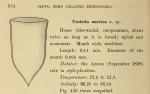 Favella azorica was originally described by Cleve (1889) as Undella azorica