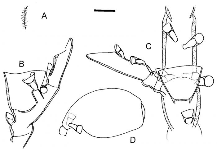 Halopteris liechtensternii