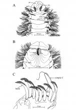 Aricidea (Acmira) anusakdii Plathong, Hernández-Alcántara, Harris & Plathong, 2020; original figure: Fig. 4