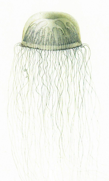 Staurodiscus thalassinus