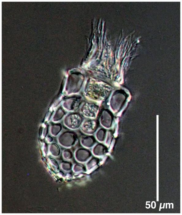 Dictyocysta mitra