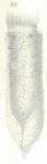 Tintinnopsis acuminata from Daday (1887)