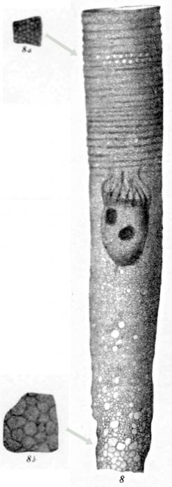 Climacocylis sipho originally described as Cyttarocylis sipho in Brandt 1906