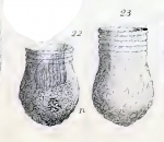Illustration of Codonellopsis bulbulus described as Tintinnopsis bulbulus by Meunier (1919)