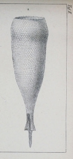 Xystonellopsis hastata was originally described as Tintinnus hastata by Biedrermann (1892)