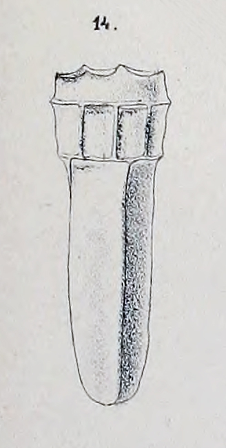 Stelidiella stelidium described as Tintinnus stelidium by Biedermann (1892)