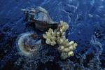 Ocinebrellus inornata and eggs