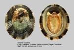 Scurria variabilis