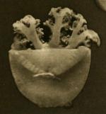 medusa of Cassiopea andromeda var. malayensis