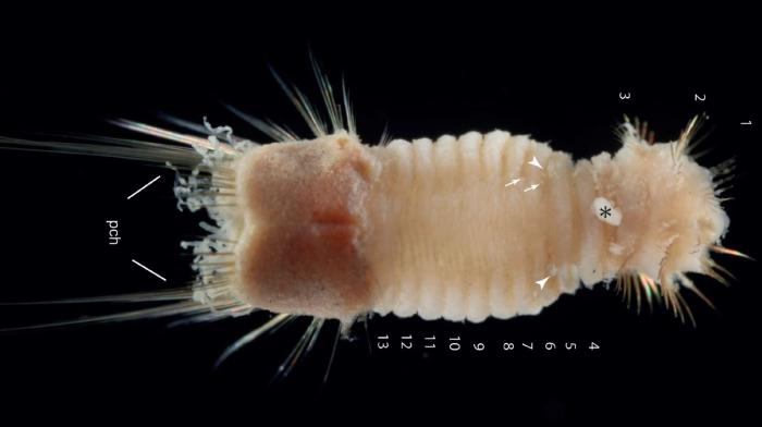 Mauretanaspis longichaeta holotype [CC BY 4.0, EJT]