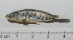 Spotted Stickleback - Gasterosteus wheatlandi