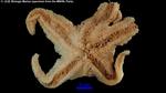 Pteraster affinis