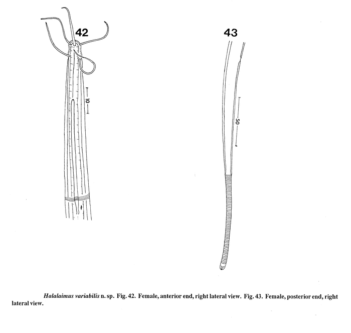 Halalaimus variabilis Keppner, 1992