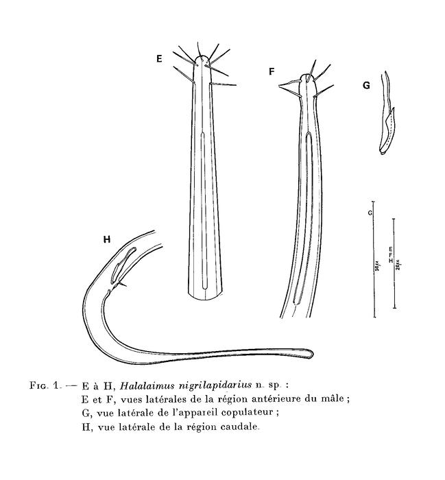 Halalaimus nigrilapidarius Boucher, 1977