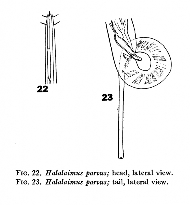 Halalaimus parvus Chitwood, 1936